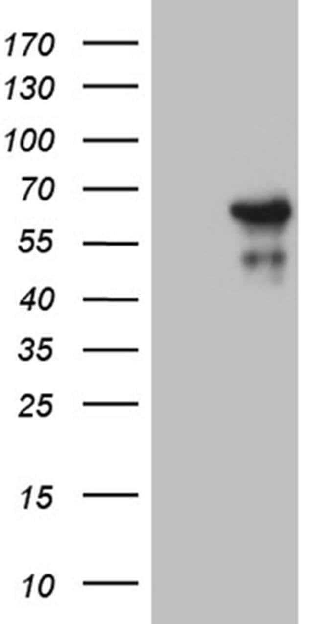 ZNF329 Mouse anti-Human, Clone: OTI7F2, Invitrogen 100 µL; Unconjugated