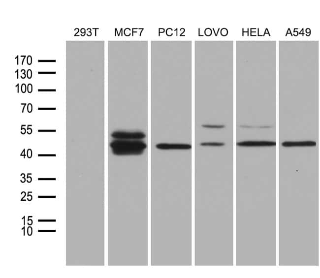 Fra2 Mouse anti-Human, Rat, Clone: OTI7E4, Invitrogen 100 µL; Unconjugated