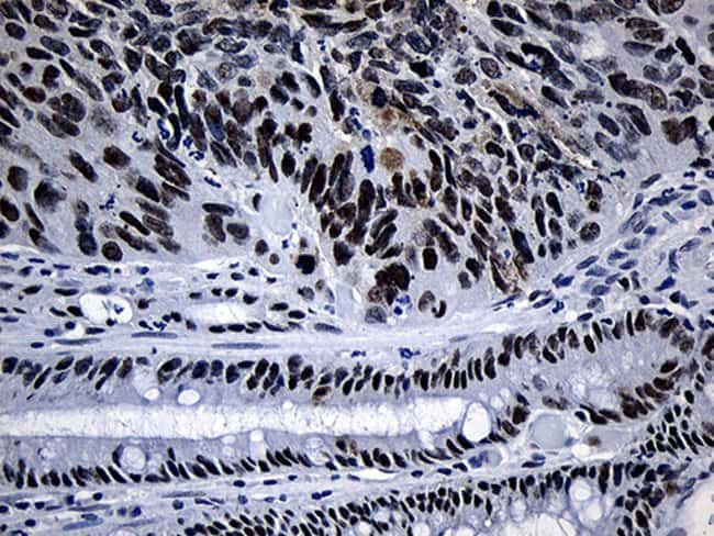 SUPT16H Mouse anti-Human, Clone: OTI8A1, Invitrogen 100 µL; Unconjugated