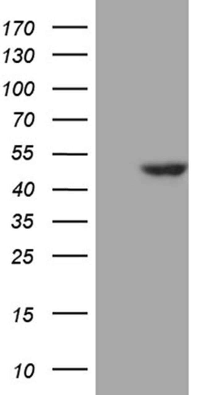 WDR77 Mouse anti-Human, Mouse, Clone: OTI5H9, Invitrogen 100 µL; Unconjugated