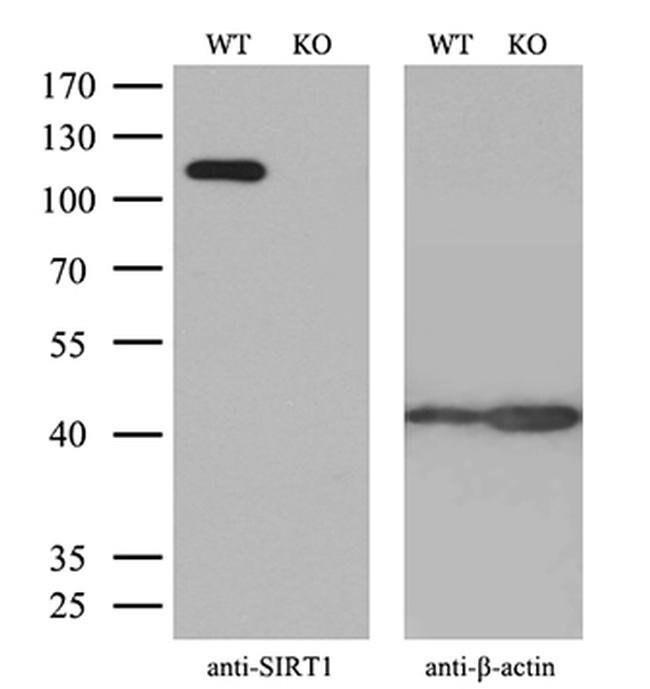 SIRT1 Mouse anti-Human, Clone: OTI1H1, Invitrogen 100 µL; Unconjugated