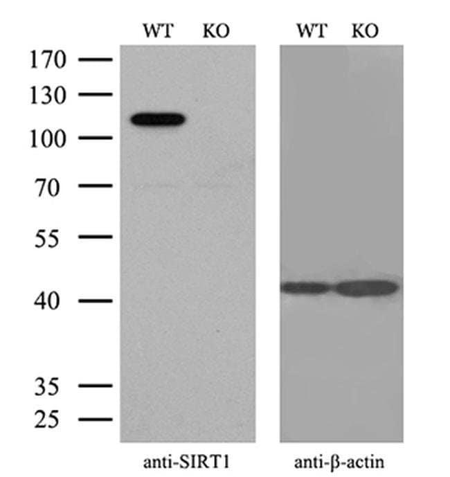 SIRT1 Mouse anti-Human, Clone: OTI5B2, Invitrogen 100 µL; Unconjugated