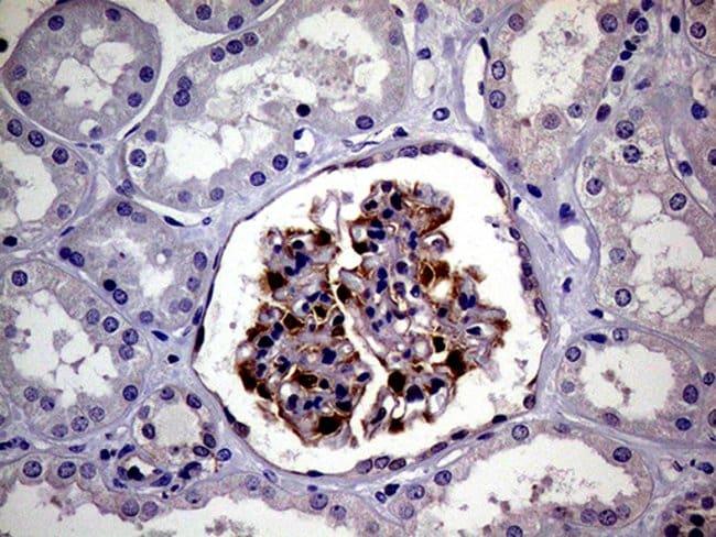 PCMT1 Mouse anti-Human, Clone: OTI4A4, Invitrogen 100 µL; Unconjugated