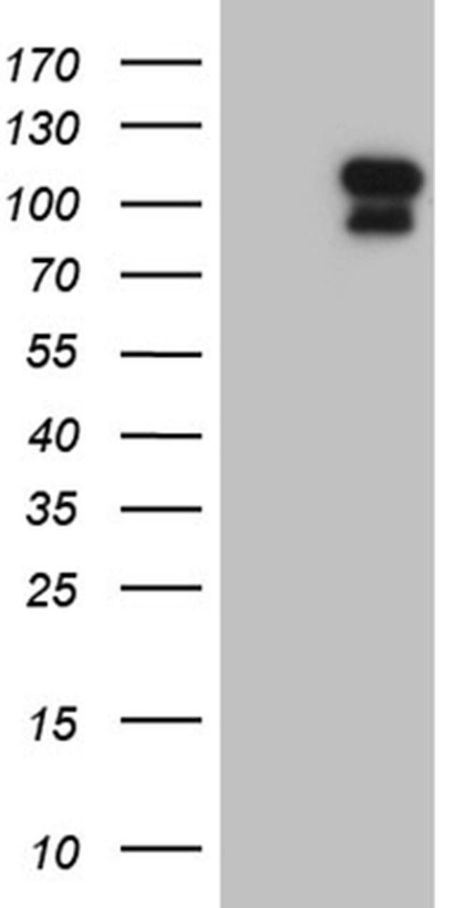 ELF4 Mouse anti-Human, Clone: OTI2D8, Invitrogen 100 µL; Unconjugated
