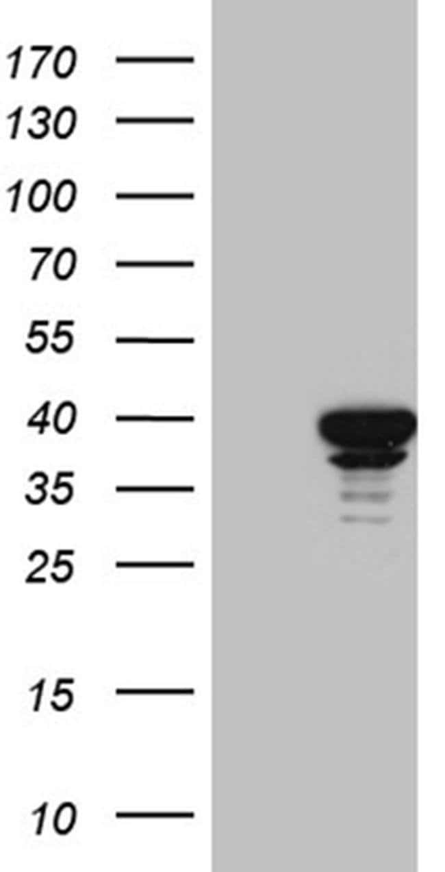 SUGT1 Mouse anti-Human, Mouse, Clone: OTI7B4, Invitrogen 100 µL; Unconjugated