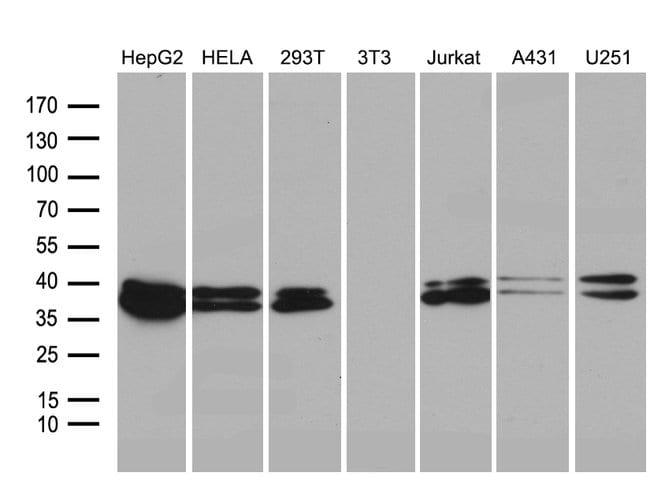 SUGT1 Mouse anti-Human, Clone: OTI7D2, Invitrogen 100 µL; Unconjugated