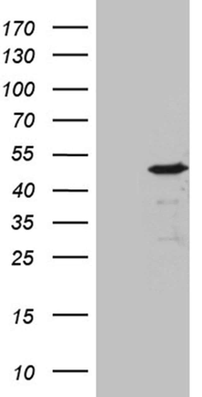 BHLHE40 Mouse anti-Human, Clone: OTI4C4, Invitrogen 100 µL; Unconjugated