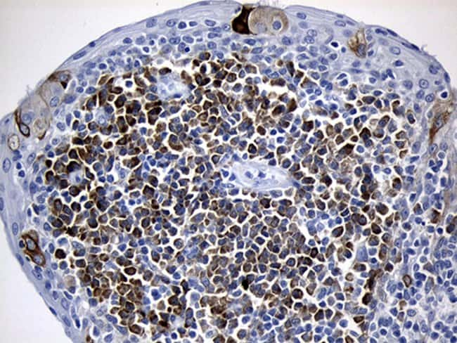 CISD2 Mouse anti-Human, Clone: OTI4D12, Invitrogen 100 µL; Unconjugated