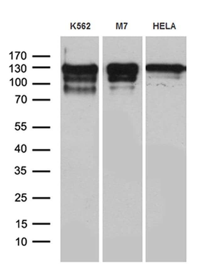 NCOA7 Mouse anti-Human, Clone: OTI1E12, Invitrogen 100 µL; Unconjugated