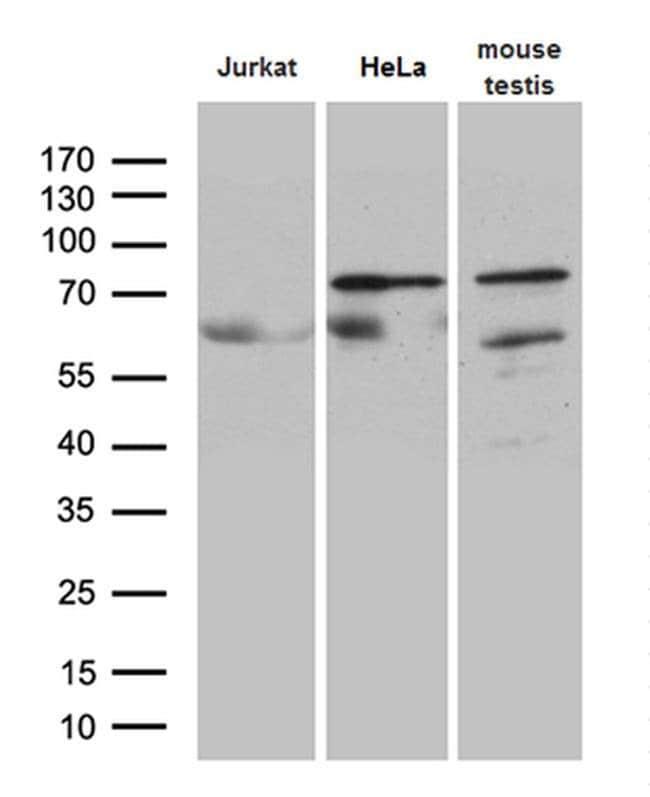 ELL Mouse anti-Human, Mouse, Clone: OTI3A8, Invitrogen 100 µL; Unconjugated
