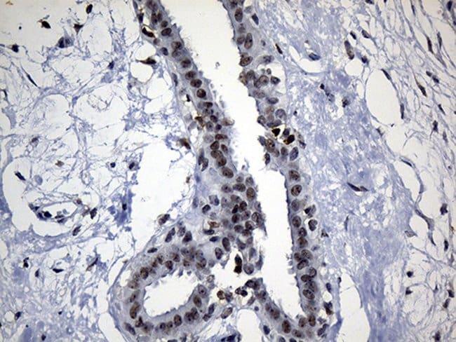 ELL Mouse anti-Human, Clone: OTI5E12, Invitrogen 100 µL; Unconjugated