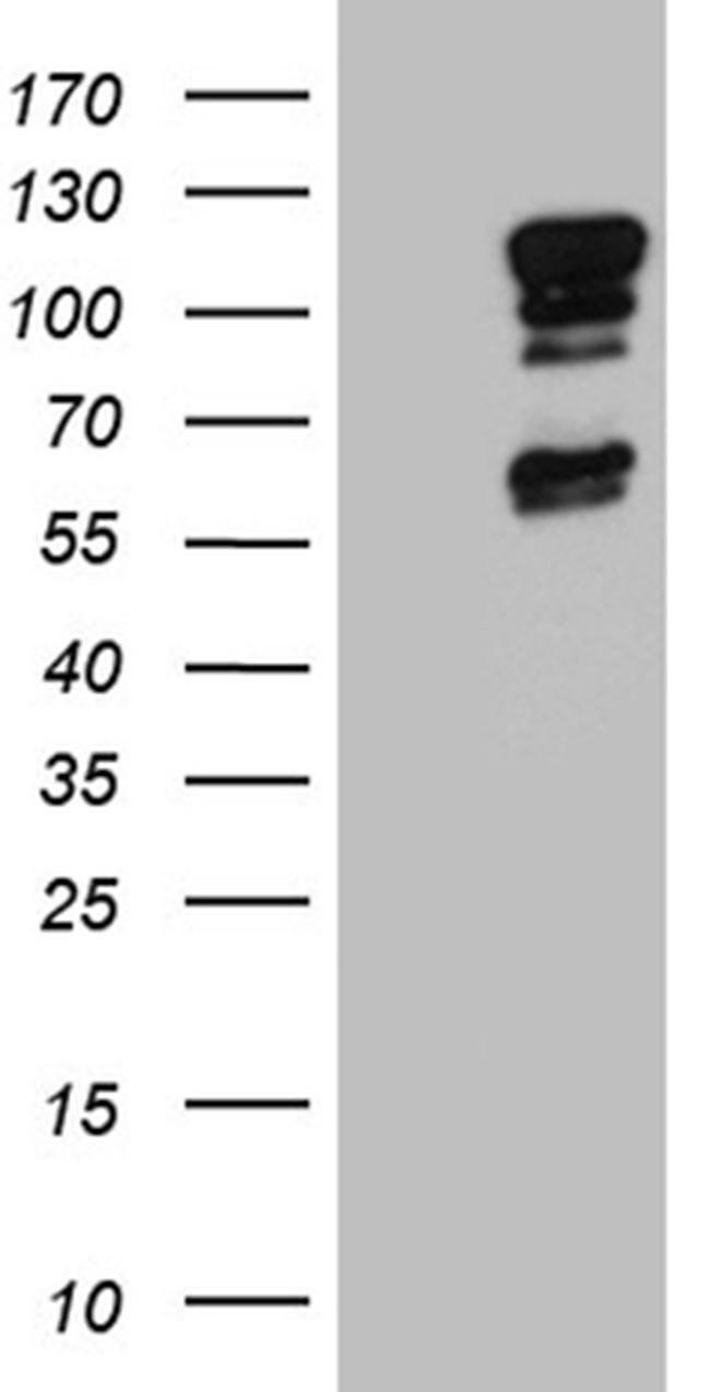 ELF1 Mouse anti-Human, Clone: OTI3D3, Invitrogen 100 µL; Unconjugated