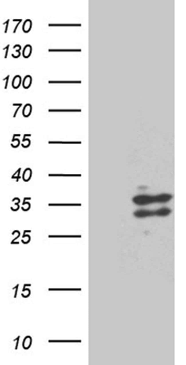 RNASE9 Mouse anti-Human, Clone: OTI4F12, Invitrogen 100 µL; Unconjugated