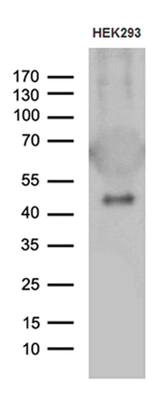 GABPB1 Mouse anti-Human, Clone: OTI4H6, Invitrogen 100 µL; Unconjugated
