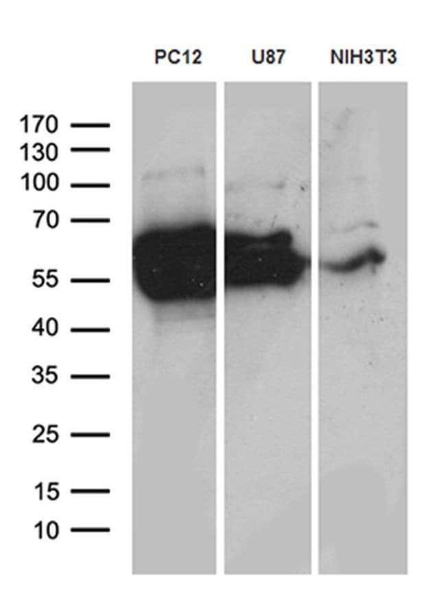 CRMP2 Mouse anti-Human, Mouse, Rat, Clone: OTI5D7, Invitrogen 100 µL;