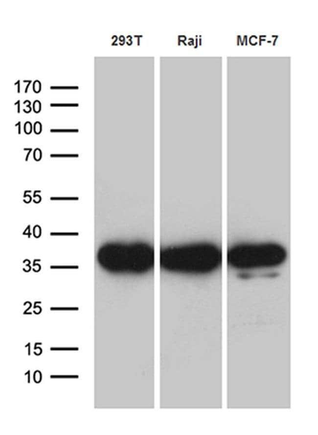 PRPS1L1 Mouse anti-Human, Clone: OTI2C6, Invitrogen 100 µL; Unconjugated