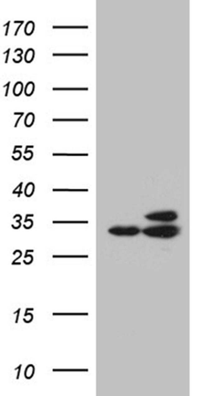 RPL7A Mouse anti-Human, Mouse, Clone: OTI3C5, Invitrogen 100 µL; Unconjugated