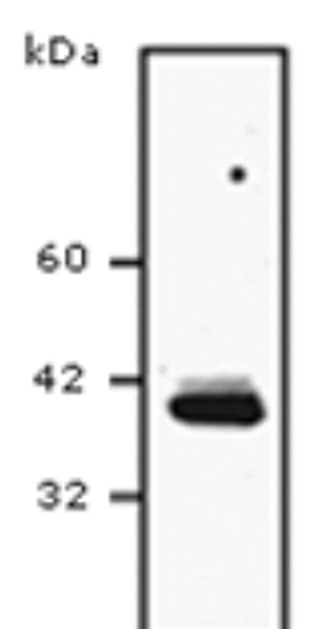 SCD Mouse anti-Human, Mouse, Rat, Clone: CD.E10, Invitrogen 100 µg;