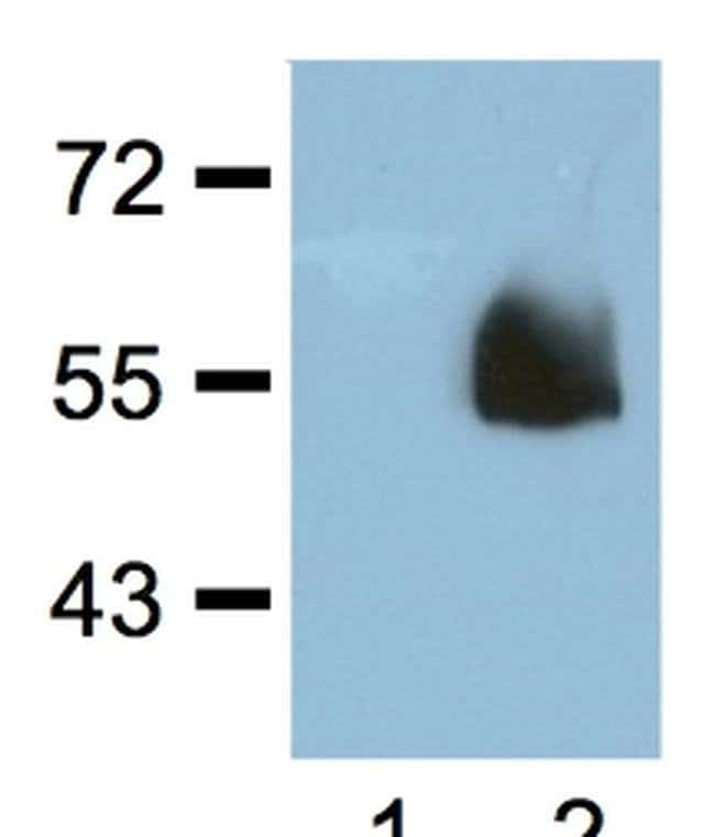 HA tag Mouse anti-Tag, Clone: HA.C5, Invitrogen 100 µg; Unconjugated