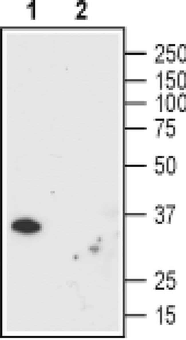 ORAI1 (extracellular) Mouse anti-Human, Invitrogen 100 µg; Unconjugated