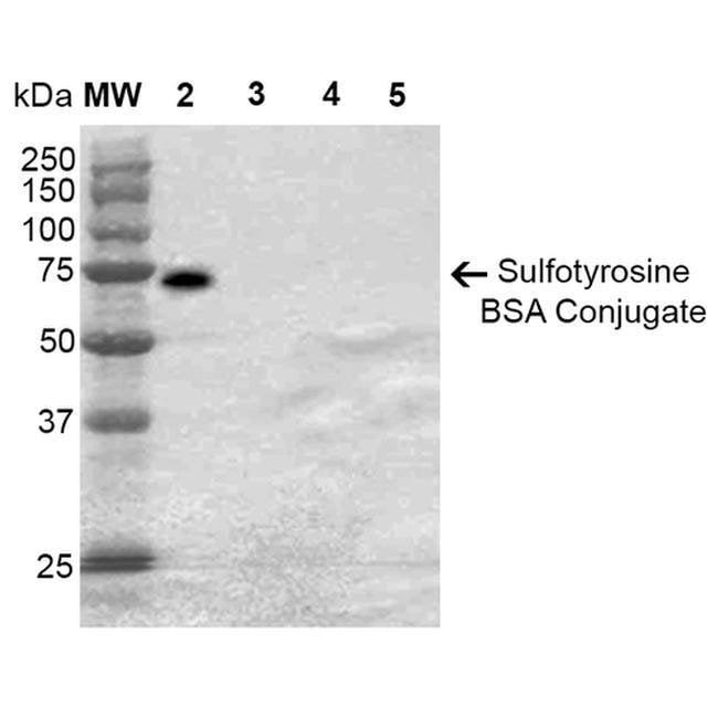 Sulfotyrosine Mouse anti-Chemical, Clone: 7C5, Invitrogen 100 µg;