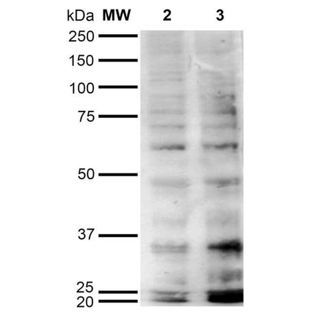 Hexanoyl-Lysine adduct Mouse anti-Chemical, Clone: 5E8, Invitrogen 100