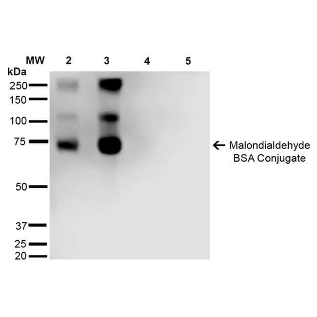 Malondialdehyde Mouse anti-Chemical, Clone: 11E3, Invitrogen 100 µg;