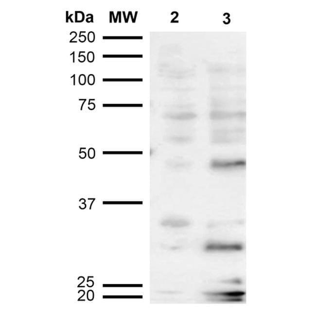 Dibromo-tyrosine Mouse anti-Chemical, Clone: 6G3, Invitrogen 100 µg;