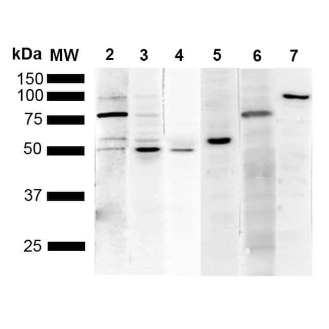 KDEL Mouse anti-Chemical, Clone: 1F2, Invitrogen 100 µg; Unconjugated