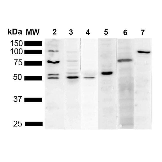 KDEL Mouse anti-Chemical, Clone: 2C1, Invitrogen 100 µg; Unconjugated