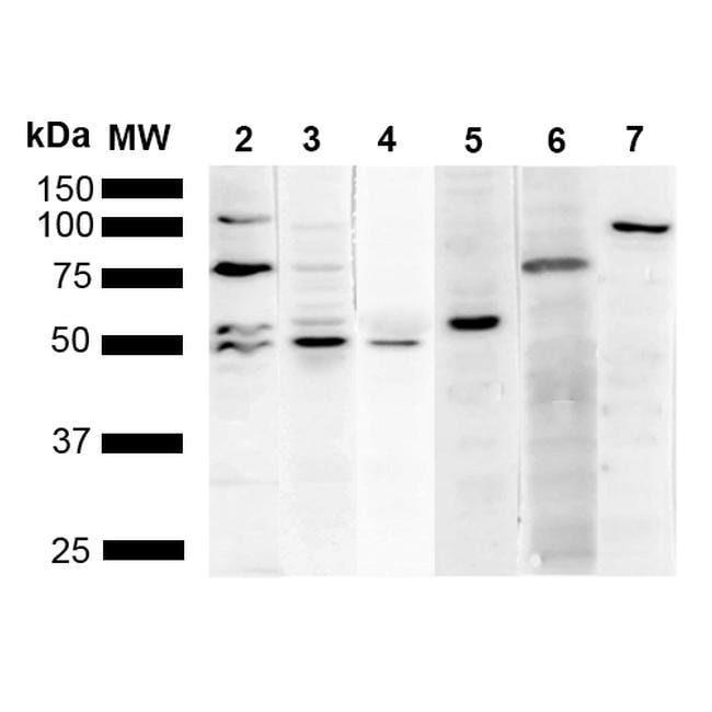 KDEL Mouse anti-Chemical, Clone: 2D6, Invitrogen 100 µg; Unconjugated