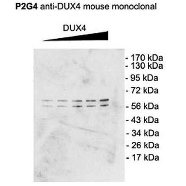 DUX4 Mouse anti-Human, Mouse, Clone: P2B1, Invitrogen 100 µg; Unconjugated