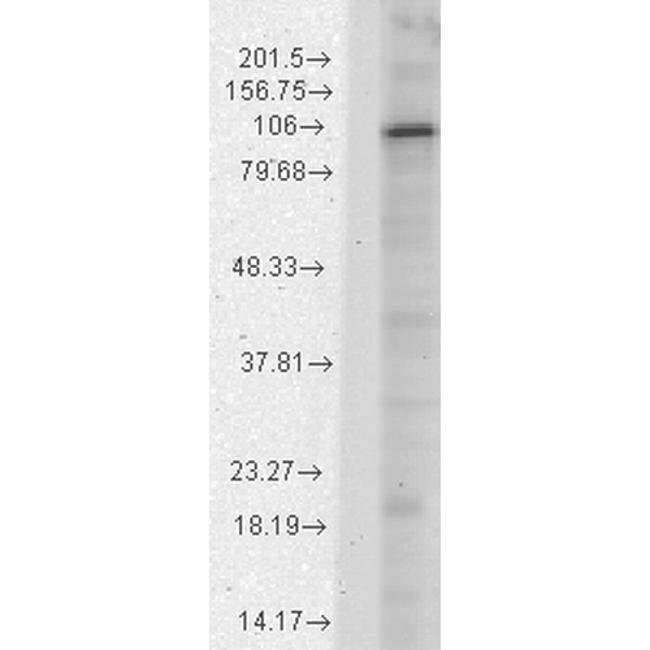 HCN1 Mouse anti-Human, Mouse, Rat, Clone: S70-28, Invitrogen 100 µg;