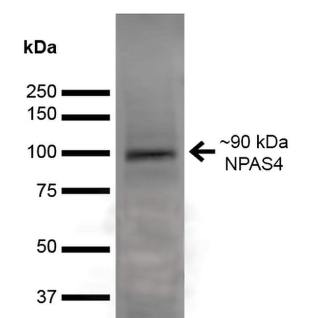 NPAS4 Mouse anti-Human, Mouse, Rat, Clone: S408-79, Invitrogen 100 µg;