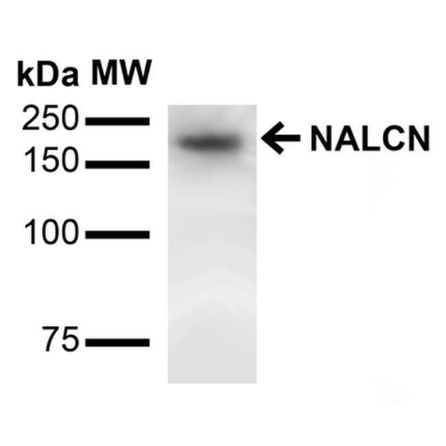 NALCN Mouse anti-Human, Mouse, Rat, Clone: S187-7, Invitrogen 100 µg;