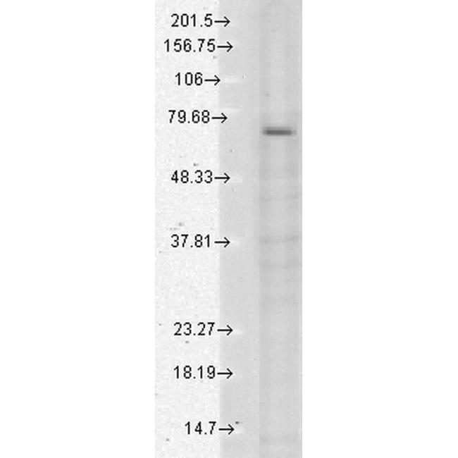TRPV3 Mouse anti-Human, Mouse, Rat, Clone: S15-4, Invitrogen 100 µg;