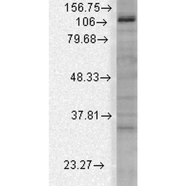 Slo3 Mouse anti-Human, Mouse, Rat, Clone: S2-16, Invitrogen 100 µg;