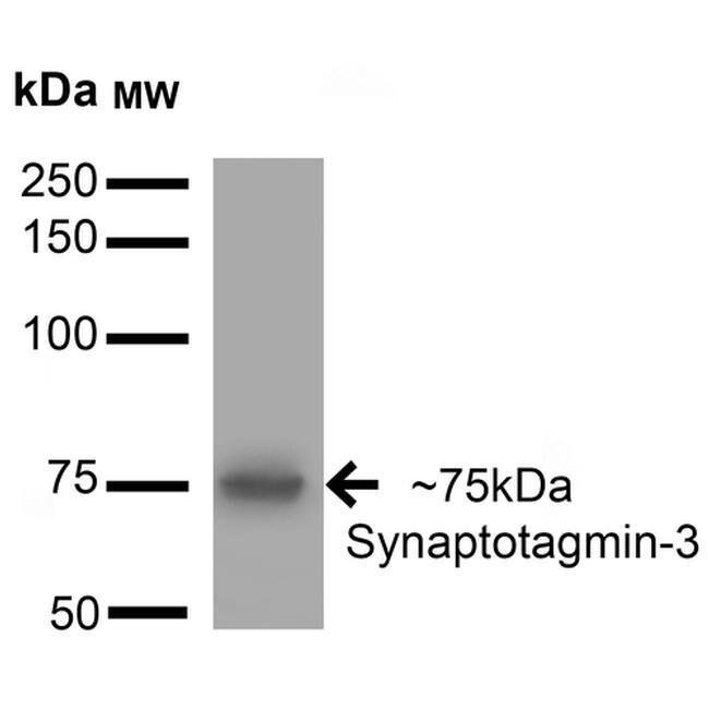 Synaptotagmin 3 Mouse anti-Human, Mouse, Rat, Clone: S278-19, Invitrogen