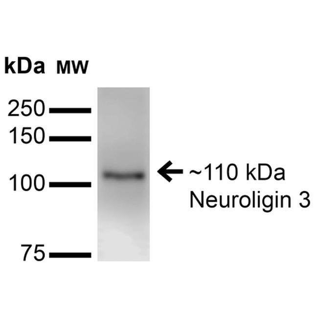 NLGN3 Mouse anti-Human, Mouse, Rat, Clone: S110-29, Invitrogen 100 µg;