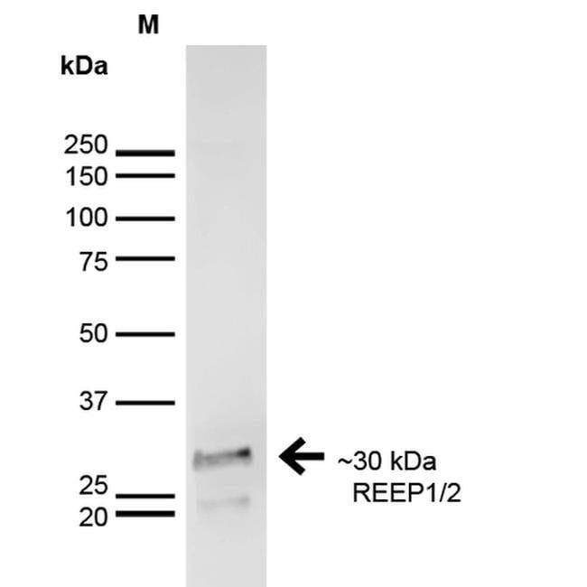 REEP1/REEP2 Mouse anti-Human, Mouse, Rat, Clone: S326D-29, Invitrogen 100