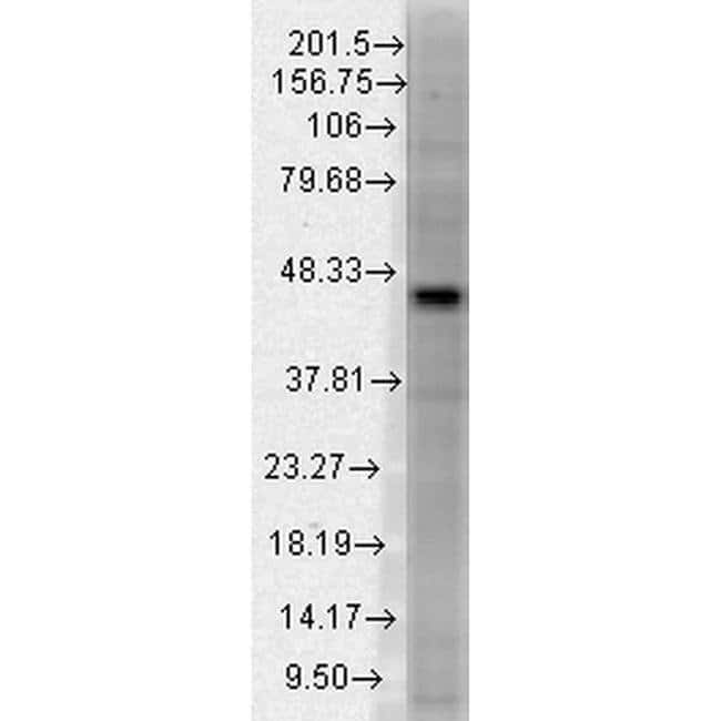 DNMT3L Mouse anti-Human, Mouse, Clone: S117-9, Invitrogen 100 µg;