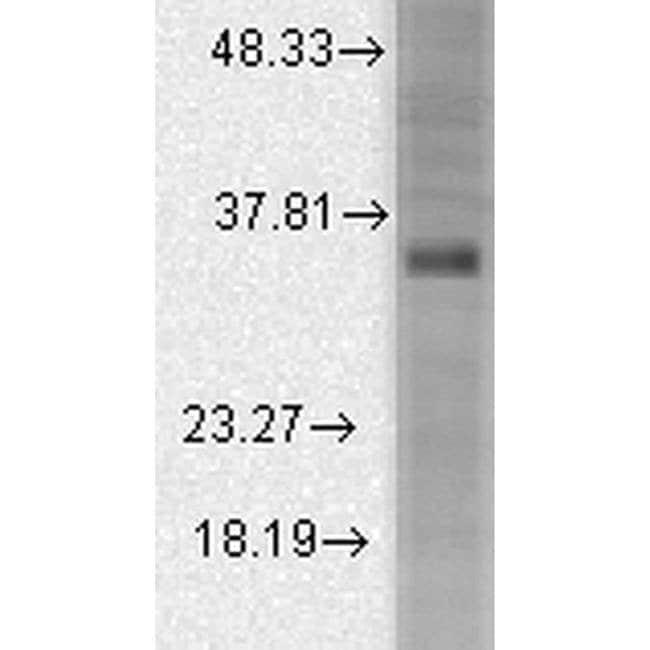 KCNMB3 Mouse anti-Human, Mouse, Rat, Clone: S40B-18, Invitrogen 100 µg;