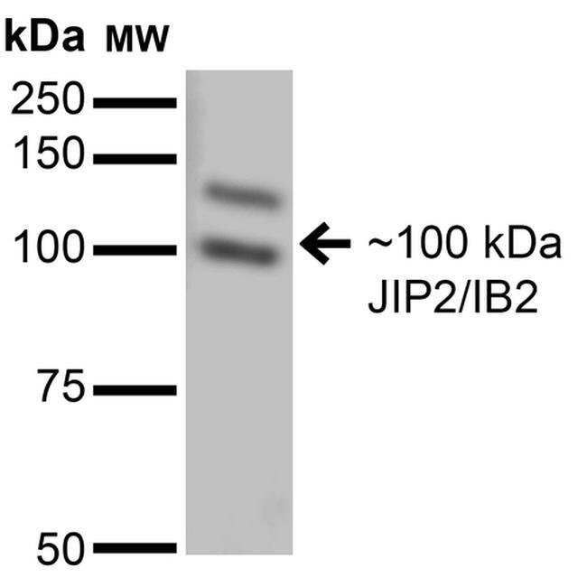 JIP2 Mouse anti-Human, Mouse, Rat, Clone: S135-37, Invitrogen 100 µg;
