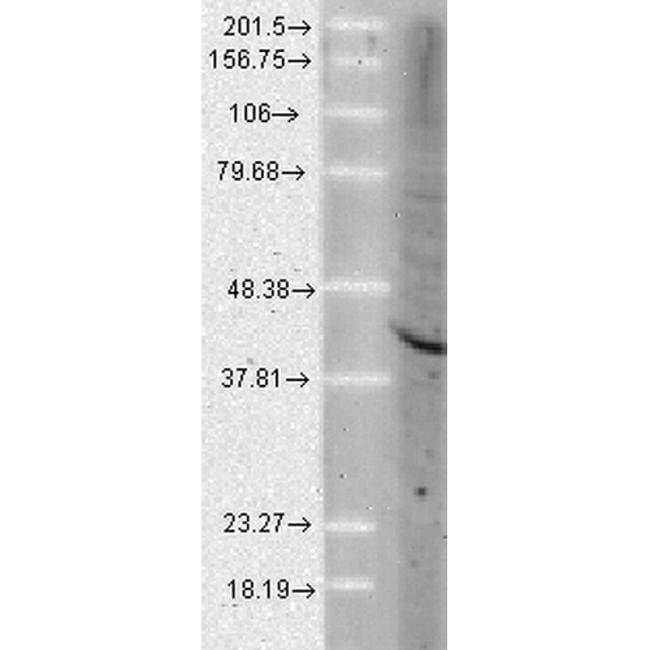 AHA1 Rat anti-Human, Mouse, Rat, Clone: 25F2.D9, Invitrogen 100 µg;
