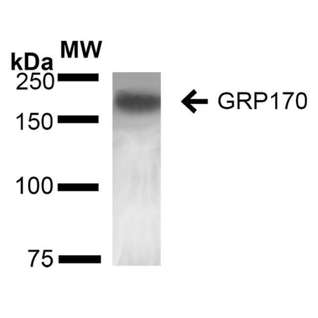 HYOU1 Mouse anti-Human, Mouse, Rat, Clone: 6E3-2C3, Invitrogen 100 µg;