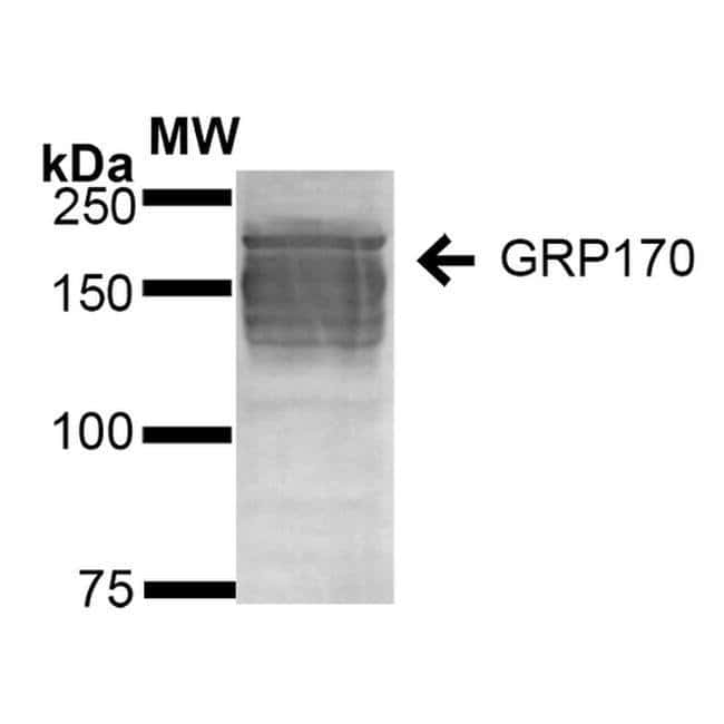 HYOU1 Mouse anti-Human, Clone: 6G7-2H5, Invitrogen 100 µg; Unconjugated