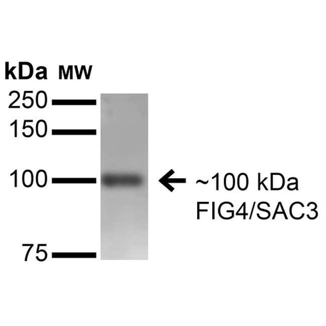 FIG4 Mouse anti-Human, Mouse, Rat, Clone: S202-7, Invitrogen 100 µg;