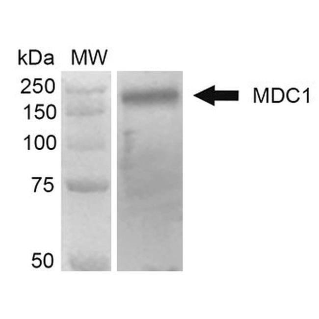MDC1 Mouse anti-Bovine, Human, Mouse, Clone: P2B11, Invitrogen 100 µg;