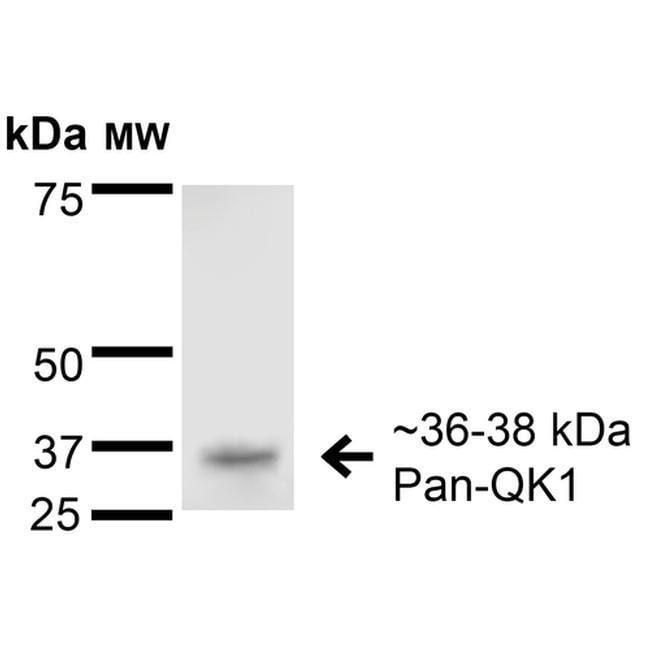 QKI Mouse anti-Human, Mouse, Rat, Clone: S147-6, Invitrogen 100 µg;