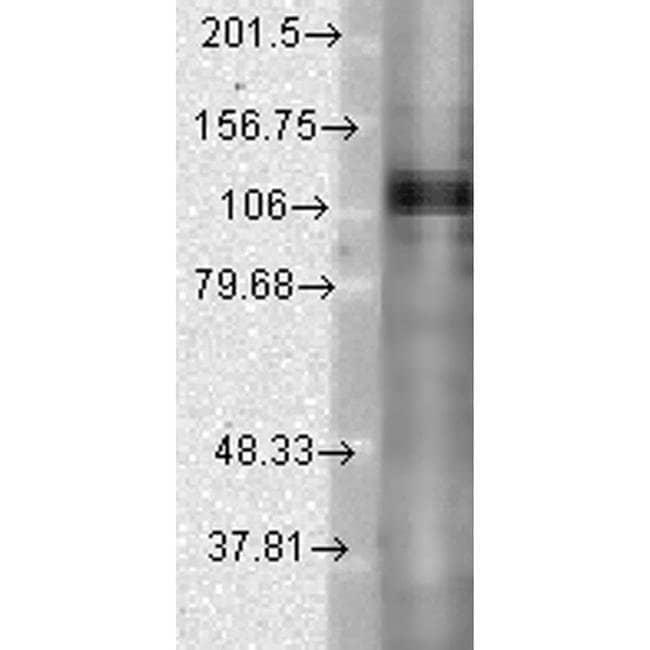 KV3.1 (KCNC1) Mouse anti-Human, Mouse, Rat, Clone: S16B-8, Invitrogen 100